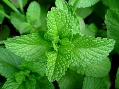 An example of mint leaves