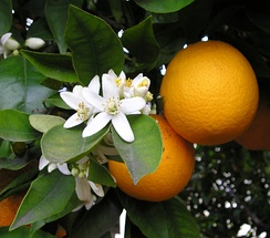 The Orange blossom is the state flower.