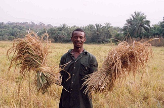 A farmer with his rice harvest in Sierra Leone. Two-thirds of Sierra Leone's population are directly involved in subsistence agriculture.[108]