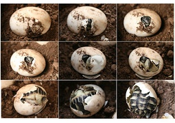 A Testudo hermanni emerging fully developed from a reptilian egg.