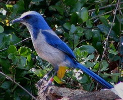 The Florida scrub jay is found only in Florida.