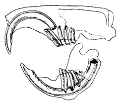 Drawing of typical rodent tooth system: The front surface of the incisors is hard enamel, whereas the rear is softer dentine. The act of chewing wears down the dentine, leaving a sharp, chisel-like edge.