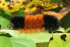 "Pyrrharctia isabella is the scientific name of the ""Woolly Worm"" celebrated in the festival"