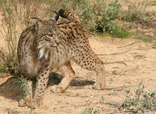 The Algarve once had the largest population of the Iberian lynx in Portugal. However, no lynxes in the wild have been reported in the region since 2003.