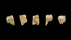Five of the seven known fossil teeth of Homo luzonensis found in Callao Cave, the Philippines.