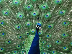The peacock's tail may be an instance of the handicap principle in action