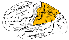 This shows the part of the brain where the sulcus is located in the parietal lobe.