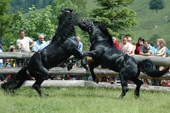 Aggressive and even violent behavior between stallions not habitually living together or in the presence of mares adds to the challenges in stallion management.