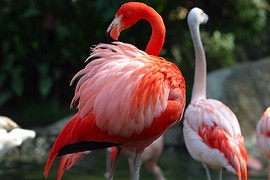 Фламинго — Птицы