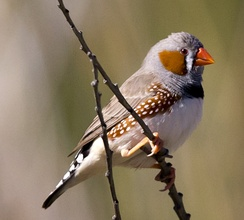 Previously researchers had thought that patterns of neural sleep exhibited by zebra finches needed a mammalian neocortex[1]