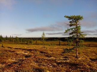 Север лесотундры Тазовского полуострова в 35км от п. Тазовский.