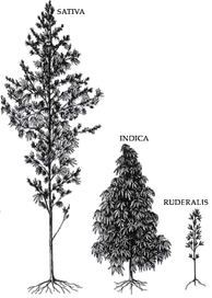Relative size of varieties of Cannabis