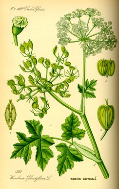 Heracleum sphondylium (Lankinis barštis) was used since prehistory up to 18th century to make an archaic version of barščiai soup