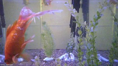 A still from a live stream of a fish tank,[1] Schou FishCam