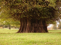 Ancient lime tree at Chilston Park, England