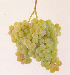 Bunch of Alvarinho grapes