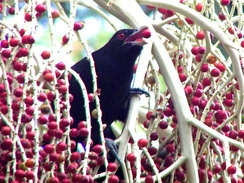 Unlike most cuckoos, the Asian koel is mostly frugivorous.
