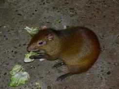 Как и большинство грызунов, агути в основном питается растениями