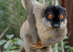 Common brown lemur, a Strepsirrhine primate