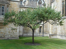Reputed descendants of Newton's apple tree (from top to bottom) at Trinity College, Cambridge, the Cambridge University Botanic Garden, and the Instituto Balseiro library garden in Argentina.