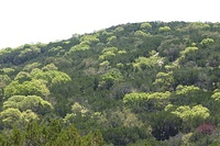 View of treetops with light spring growth scattered amid darker evergreens