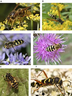 A and B show real wasps; the rest are Batesian mimics: three hoverflies and one beetle.