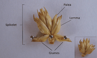 Parts of a spikelet