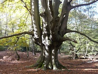 Ancient pollarded beech tree. Epping Forest, Essex, England
