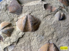 Bivalves (Aviculopecten) and brachiopods (Syringothyris) in the Logan Formation (Lower Carboniferous) in Wooster, Ohio.
