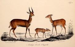 Rüppell's depiction of the Abyssinian bushbuck (1835)