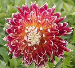 Dahlia 'Akita' A cultivar selected for flower form and colour