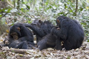 Chimpanzees grooming one another