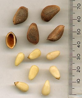 Korean Pine seeds — in shell and shell, above; removed from shell, below