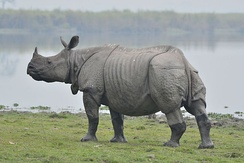 The Indian rhinoceros (Rhinoceros unicornis) is a monotypic species