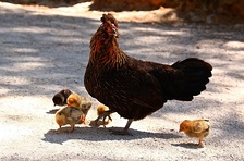 Hen with chicks, Portugal.