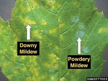Examples of downy and powdery mildew on a grape leaf.