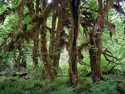 The Hoh Rainforest supports many trees and epiphytes.
