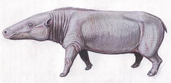 Anthracotheres like Anthracotherium resembled pygmy hippos and are among their likely ancestors