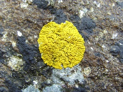 "This crustose lichen, Caloplaca thallincola, is placodioid, with radiating ""arms"" in its growth pattern."