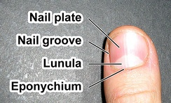 An average human fingernail is about 1 cm wide.