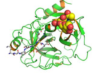 Структура простатического специфического антигена человека.