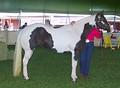 Пегая лошадь типа тобиано