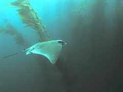 Bat ray in kelp forest, San Clemente Island
