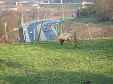 A big shaggy goat with long horns eats its grass on top of a hillside in view of several dual carriageways.