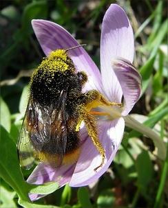 Шмель на цветке крокуса, в его пыльце