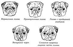 Разновидности пропорций головы