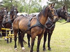 Четыре лошади, запряжённые цугом. Вершина дышла видна между двумя задними лошадями (называемыми коренниками)