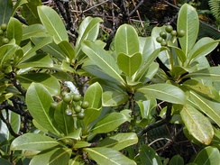 A shrub with large, leathery, simple leaves, and bearing clusters of round, green fruit.