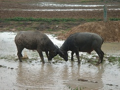 Water buffalo ramming against each other using the weight of their heads and their horns.