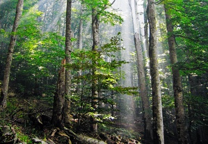 Old-growth forest in Biogradska Gora National Park, Montenegro